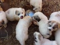 AKC and CKC Registered Great Pyrenees Puppies, ready to