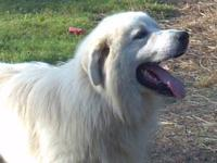 Great Pyrenees puppies ready to go on 11/2. 4 females,