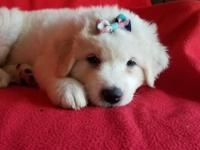 Purebred Great Pyrenees female puppy Wormed and will