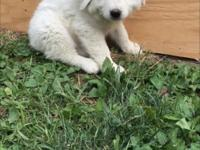 Purebred puppy raised in pasture with goats. Great for