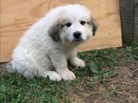 Purebred puppy raised with goats in pasture. Great for