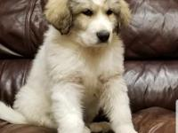 AKC pup. Exceptional temperament and well socialized