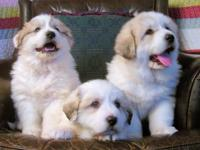 Great Pyrenees puppy puppies need loving homes 9 week