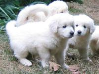 Absolutely gorgeous Great Pyrenees puppies for