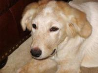 Great Pyrenees - Rusty - Medium - Baby - Male - Dog
