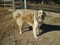 Great Pyrenees - Shollie - Extra Large - Adult - Male -