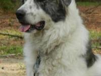 Great Pyrenees - Simon - Large - Adult - Male - Dog