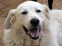 Great Pyrenees - Snow - Large - Adult - Female - Dog