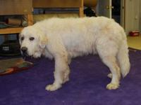 Great Pyrenees - Thomas 9/22 - Extra Large - Senior -