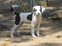 Great Pyrenees - Wilkins - Large - Adult - Male - Dog