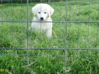 501(c)(3) non-profit has Great Pyrenees pups available