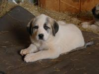 women puppy is 3/4 Fantastic Pyr, 1/4 Kangal, dam is