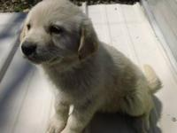 We have 4 Great Pyrenees Yellow Lab cross puppies. Born