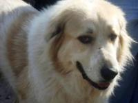 Great Pyrenees - Zeke - Extra Large - Adult - Male -