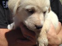 Pyreneese mix puppies, white/cream and chocolate