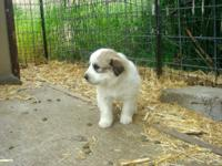 Beautiful & & lovable Great Pyrnees puppies available