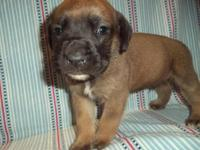 This gorgeous English Mastiff puppy is nicknamed