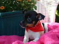 Great Rat Terrier pups-UKCI Registration. Top quality,