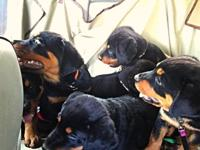 Rottweiler Puppies Pure-breed 1 Males 2 Females