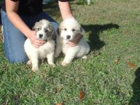 We have two new litters of Pyrenees Puppies ready to go