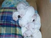 Hi I have 5 white pitbull puppies for sale 4females