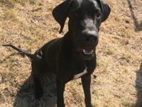I am selling my beautiful black Great Dane. She is 9
