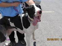 Great Dane - Ebony - Extra Large - Young - Female -