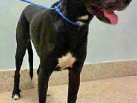 Great Dane Last day..'s story Jack was found as a stray