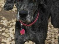 Great Dane - Loma - Extra Large - Young - Female - Dog