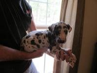 Available Great Dane Puppies! Litter One - 1 available