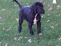 Seeking a good home for my Great Dane puppies. They