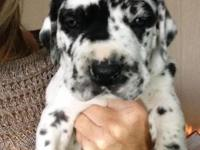 Great Dane puppies ckc registered born February 27th
