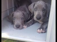 Blue great dane puppies due Mother's Day and ready to