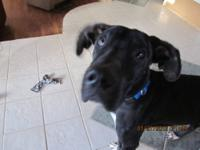 Great Dane - Wishbone - Extra Large - Young - Male -