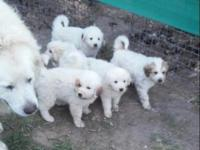 great pyrenees male pup, great livestock guardians,