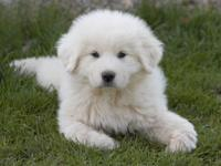 9 beautiful and intelligent Great Pyrenees Puppies