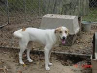 Great Pyrenees - Sammy Gpx Mn - Large - Adult - Male -