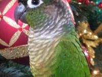 Incredibly Tame and friendly green cheek conure. 7