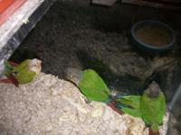 I have baby green cheek conures for sale $100.00 five