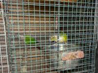 female green cheek conure,male yellowside conure with