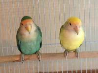 I have 6 Green Cheek Conures weaned and ready for their