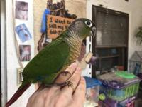 I have Green Cheek Conures I am just finishing hand