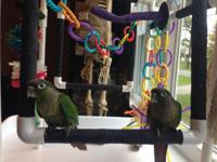 Environment-friendly Conures 2 (males) born 1st. Aug.