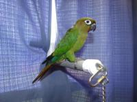 Hello, we have a Green Cheek Hybrid youngster for
