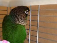 Sweeet Green Cheeked Conure, with cage and all toys and