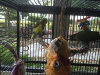 Green Cheek Conure DNA tested as male, hatch date