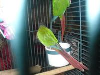 I have 2 Green Cheek Conures that are for sale. They