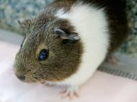 Orange, Green and Blue Males Guinea Pigs 2 Months  Hi!