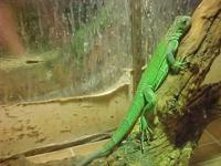 2 YRS OLD GREEN IGUANA. COMES WITH A 6FT X 3FT X