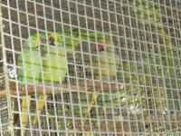 I have a few green Indian Ringneck pairs available,
